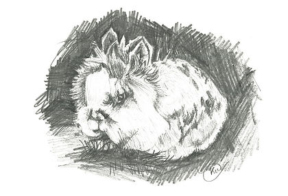 Lion Haired Bunny Rabbit Pencil Illustration, Pet Portrait by Kirstianne Wells, Artist from Lincolnshire