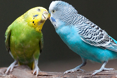 Budgie Mix - Various Sizes