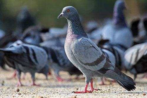 Pigeon Mix - Various Sizes