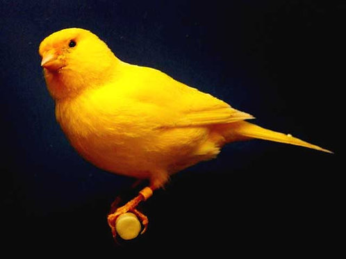 Canary Mix - Various Sizes