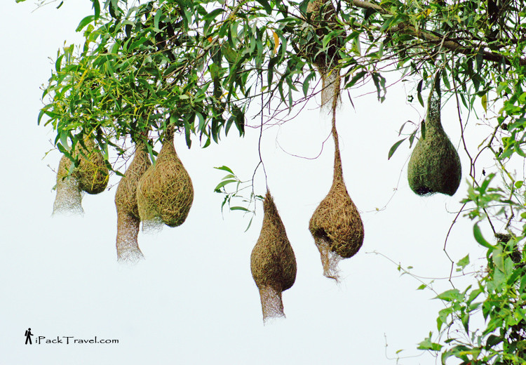 Baya weavers nests