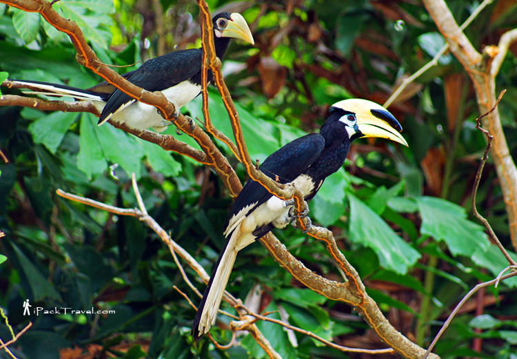 Adult and young hornbills