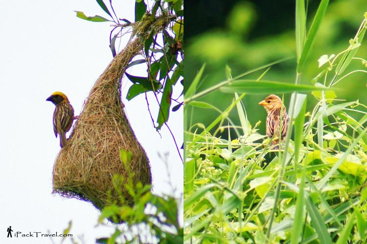 Male and female baya weavers