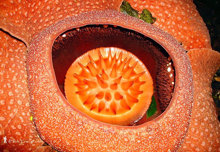 Core of rafflesia