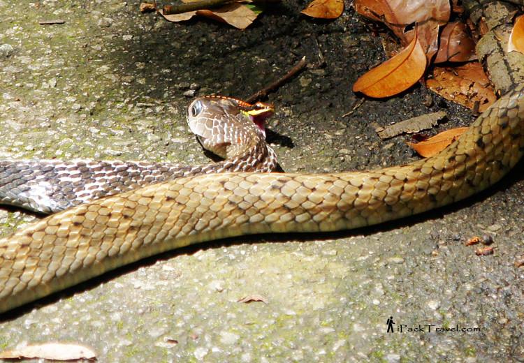 Rat snake eating red-backed snake
