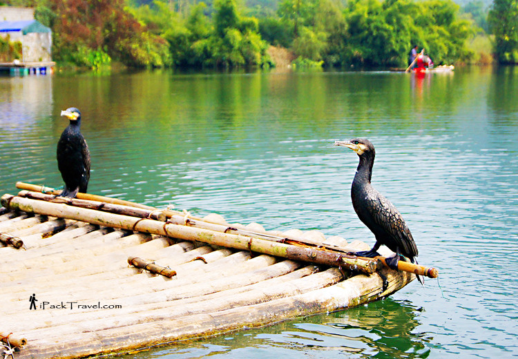 Cormorants on a raft