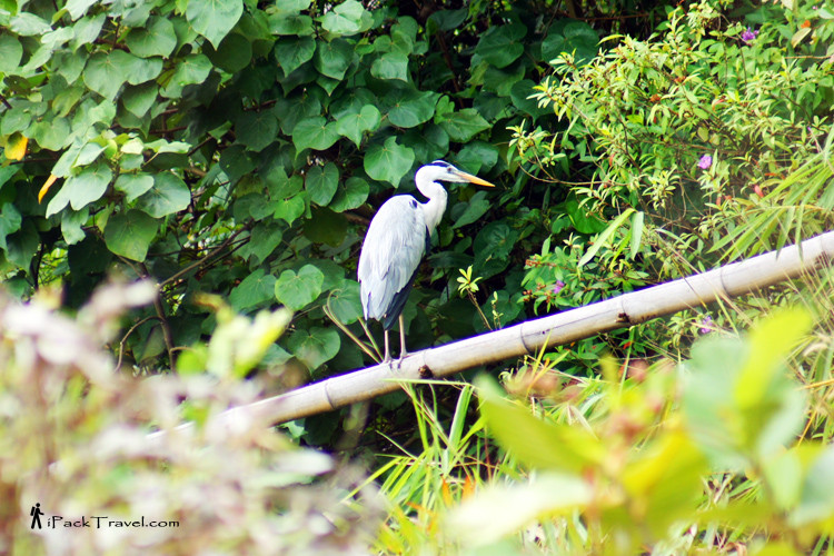 A Heron perched on a branch