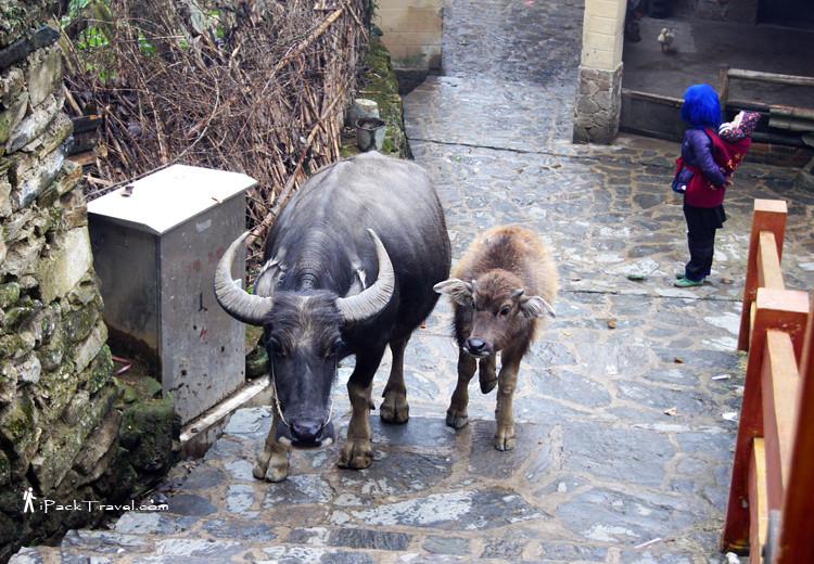 Buffalo in Pugao Old Village