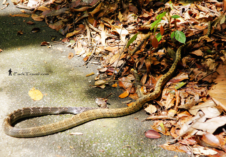 2 metre rat snake