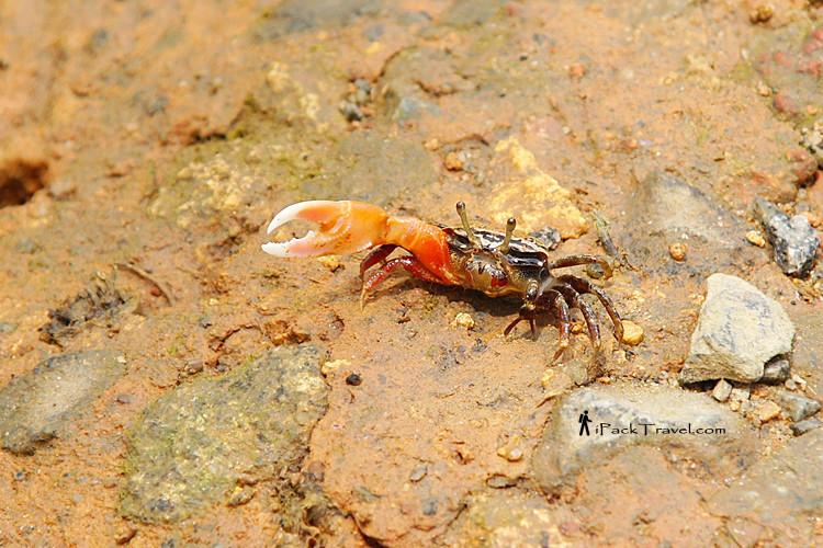 Fiddler crab on a mud bank