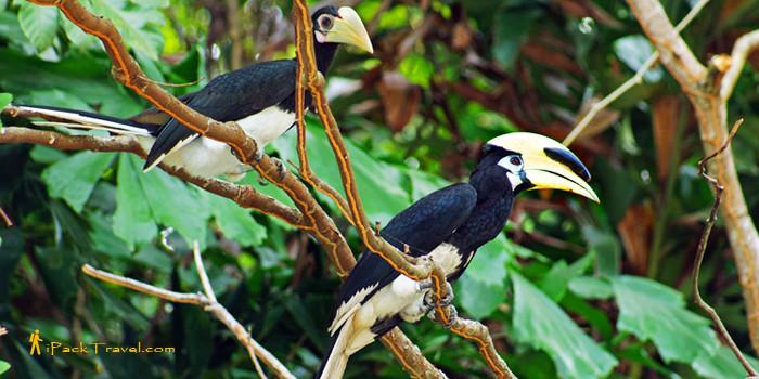 Oriental Pied Hornbill on Pulau Ubin