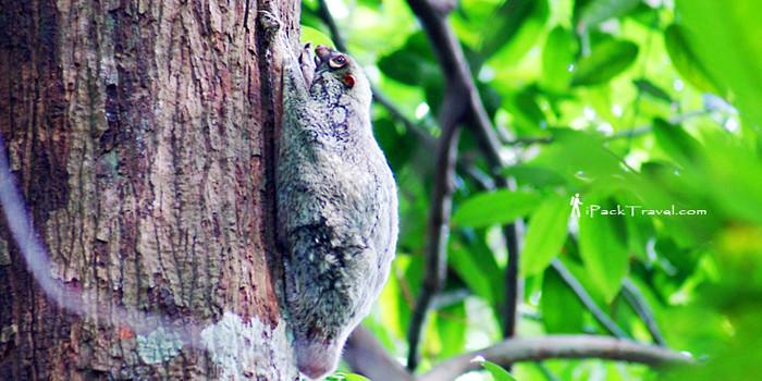 Flying Lemur of Bukit Timah Hill