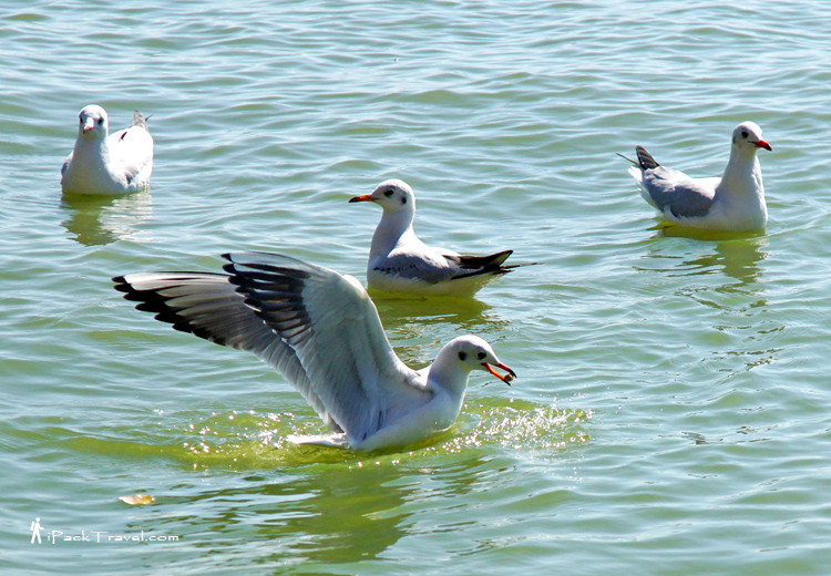 Red-billed gulls in Kunming