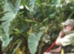 Wild taro growing onte Cahaba River