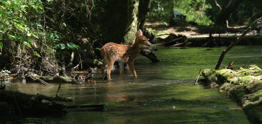 A fawn ventures into the Little Cahaba River