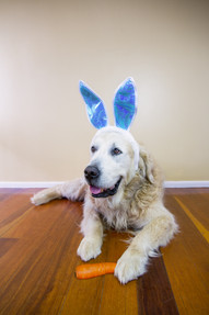 Why dogs need to avoid chocolate this Easter (and every other day)