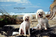 Divine Dog Wisdom - The key to staying young at heart - an interview with toy poodle brothers Mr Big