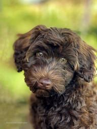 Divine Dog Wisdom - Meet Merlo the Labradoodle