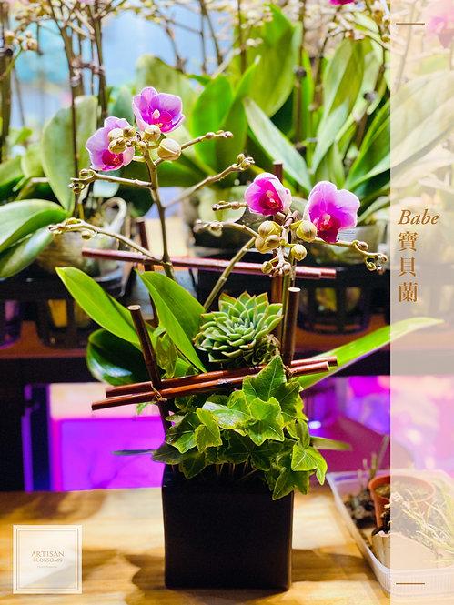 Babe Orchid 寶貝蘭 (2-branch)