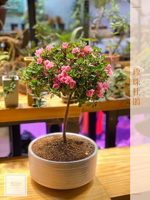 Miniature Rhododendron 珍珠杜鵑 (高:~45cm)