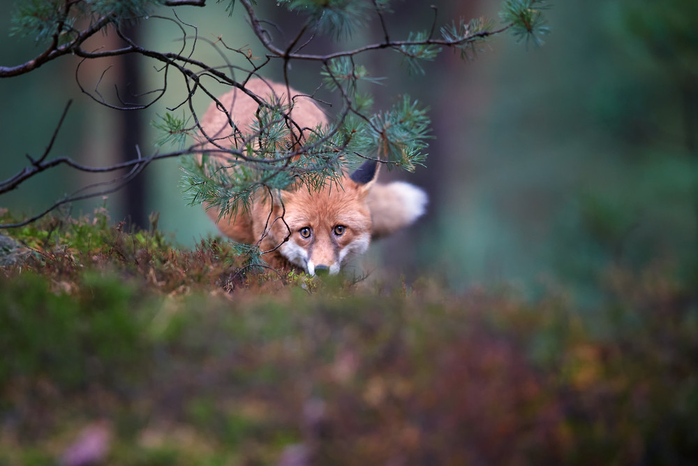 Red fox, a frequent resident of Šumava national park