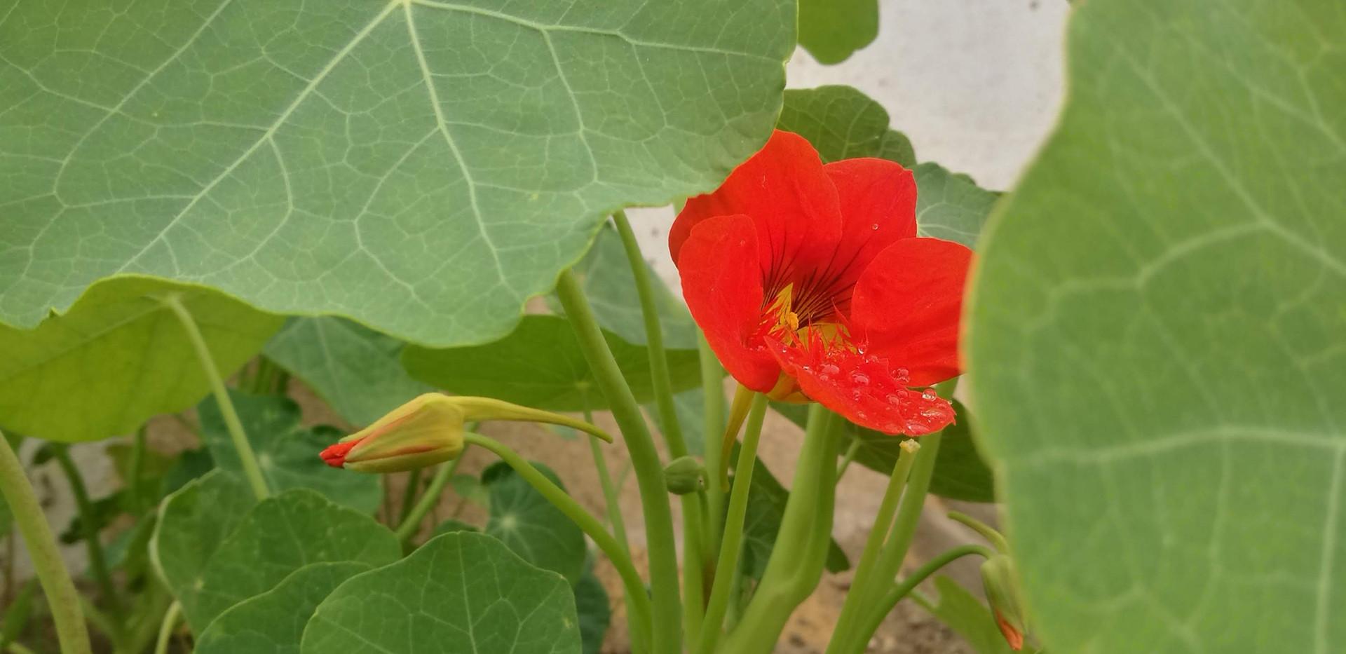 Lichořeřišnice v plném květu