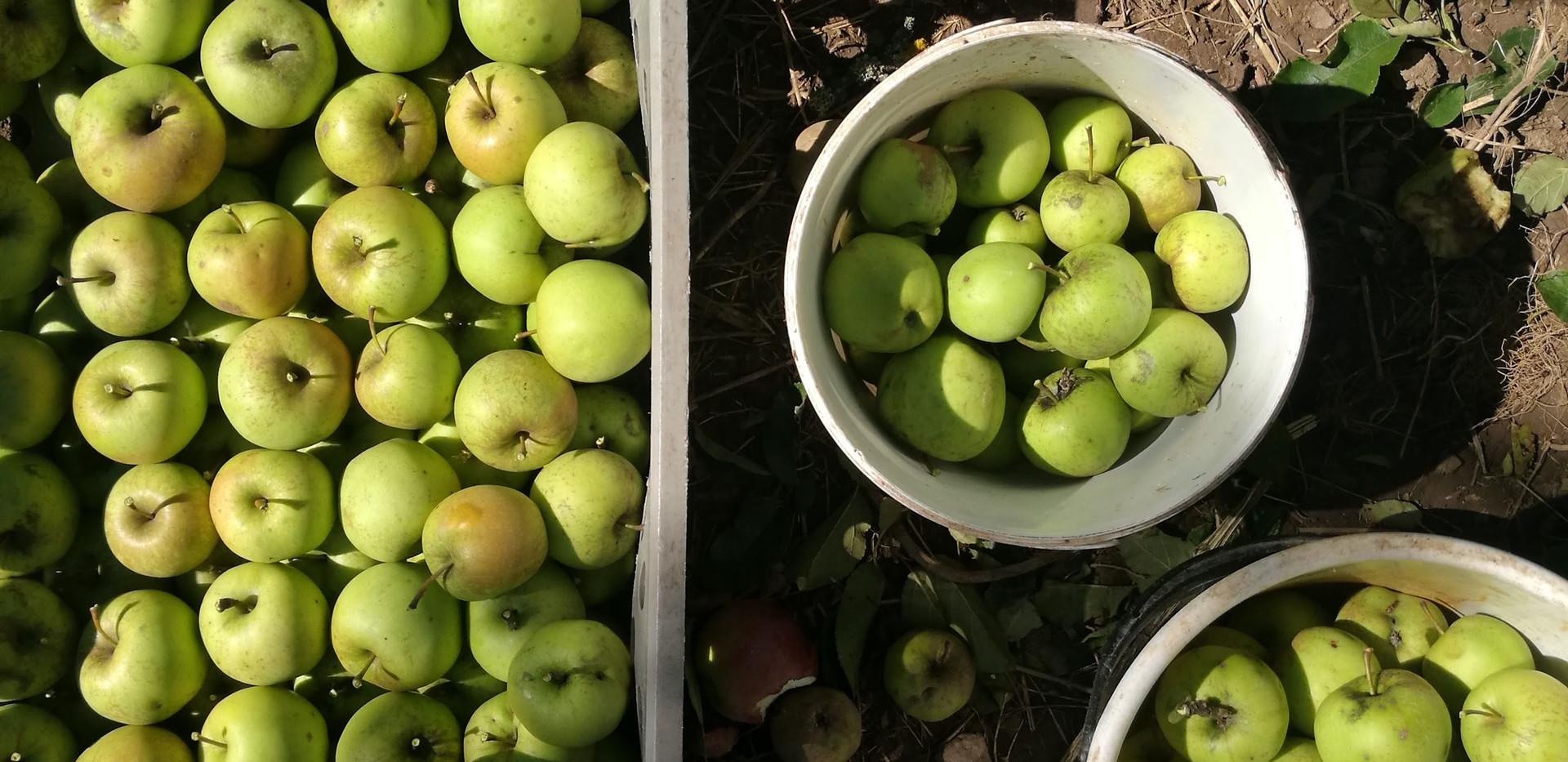 Jablíčka na mošt