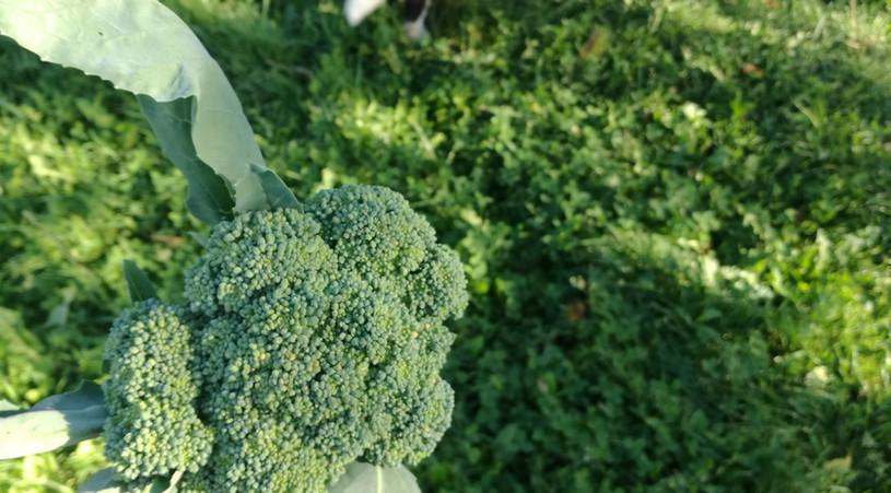 Boksi a její názor na brokolici...