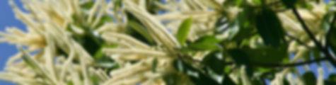 Blüte_Edelkastanie.jpg