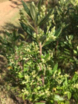 grüne propolis der baccharis dracunculifolia
