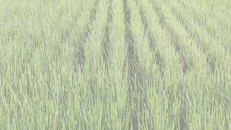 稲畑の写真