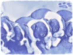 Hepley Boston Terrier Puppy waiting list