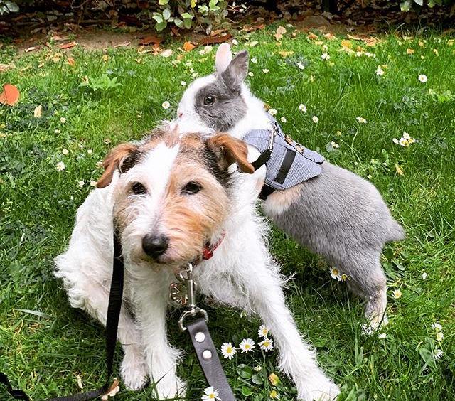 Roger le lapin, et Upsy le Parson Russell terrier du Dr Roche-Naude profitent de la campagne
