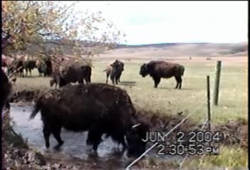 Bison Herd - Livestock Containment Fencing