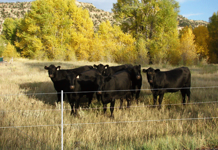 3-wire permanent electric fence holding cattle