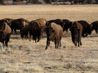 Bison and Bison Fencing