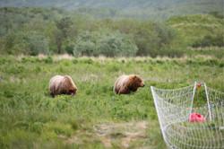 Kodiak Grizzly Bears