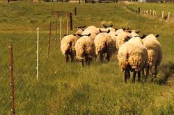 6 Wire Perm Sheep Pred