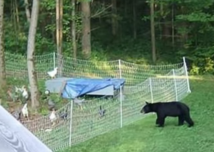 Keep bears out of your chickens with electric fence