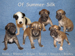 Silken Windsprite B-Wurf of Summer Silk
