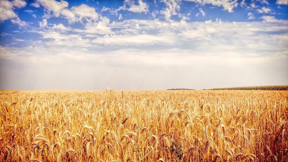 syngenta indiana corn lawsuit