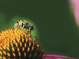 Neonics: Threat to bees but now wider concern