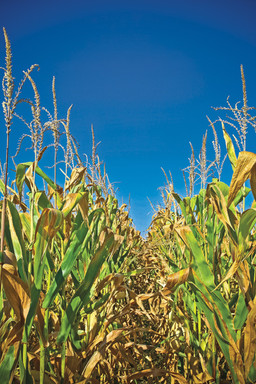 Atrazine: Widely used and controversial herbicide