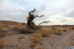 עץ יבש בנחל פארן
