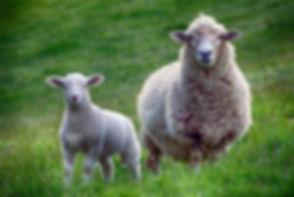 sheep-2641172_640.jpg