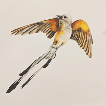 Scissortail Flycatcher Scientific Illustration