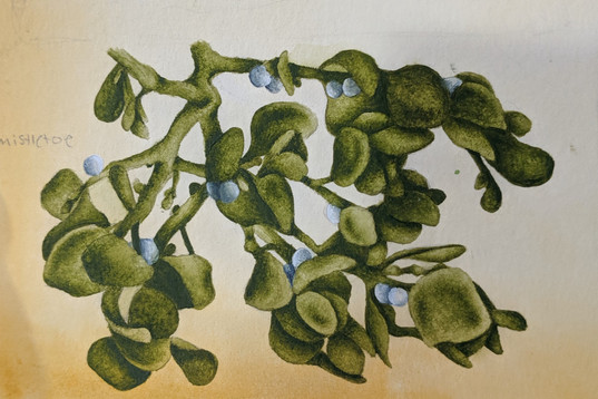 Mistletoe Illustration