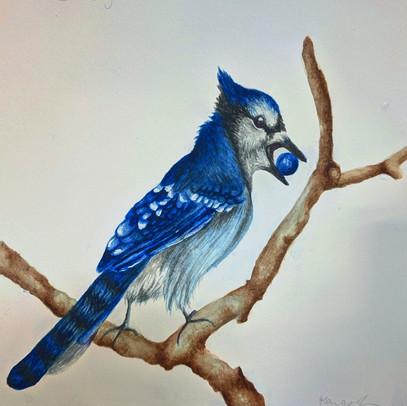 Blue Jay Scientific Illustration