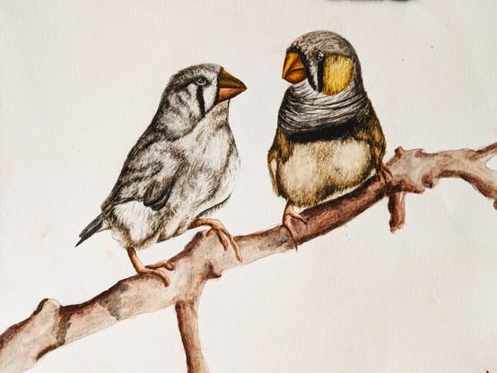 Finches Scientific Illustration