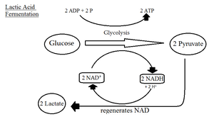 Anaerobic Glycolysis